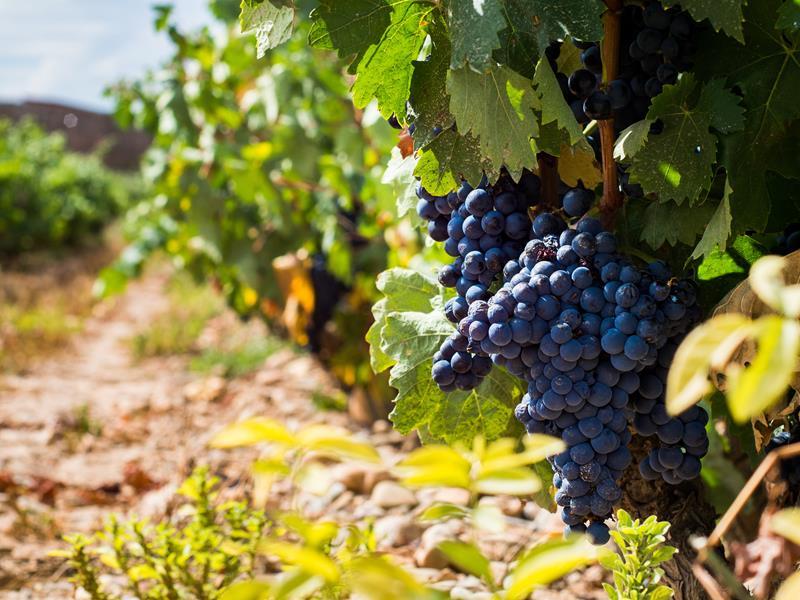 Carménère: um guia sobre essa conceituada uva!